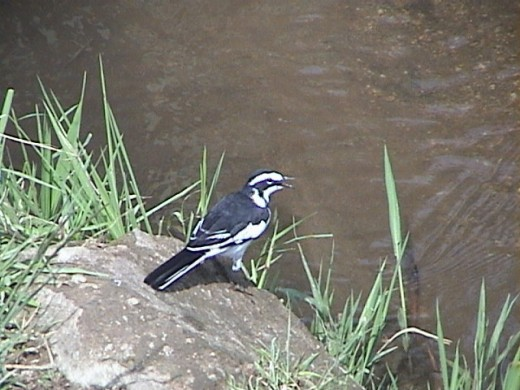 African Pied Wagtail by the Nile