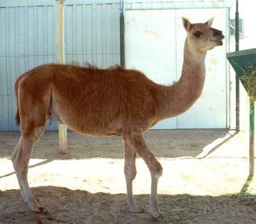 Cama - Camel and Llama crossbreed