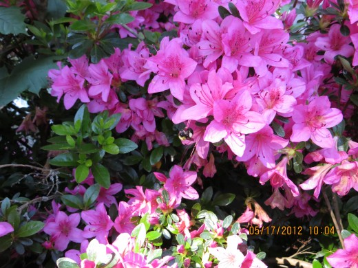 Look closely to see the bee in the azalea