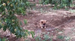 Charlie as a puppy in the peach orchard