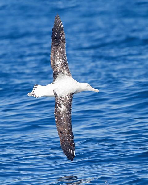 A Wandering Albatross gliding effortlessly over the open ocean.