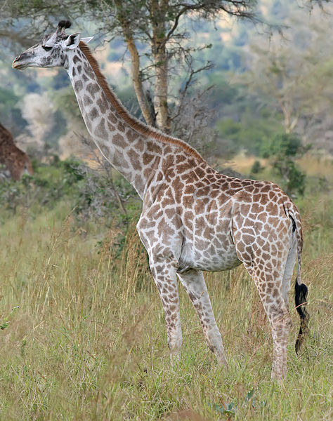 One of the most iconic animals on the planet, and also the tallest; the giraffe. The males can be as tall as 20 feet.
