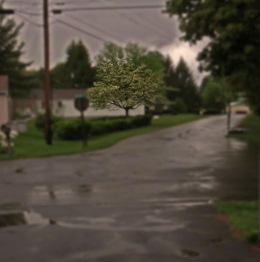 Dogwood in the rain