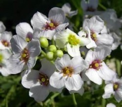 Crambe - An ancient vegetable crop which has a new use in plastics or fuel.