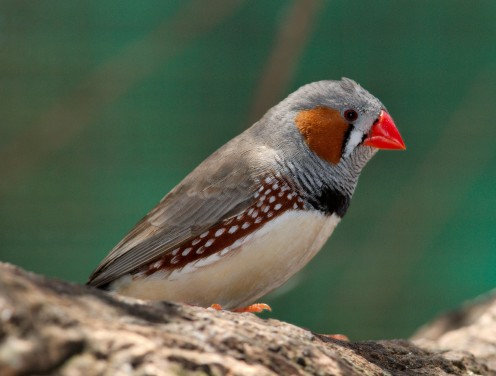 A male zebra finch. I do not know what type of bird was in my parents' home.