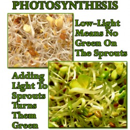 Light brings the green to sprouts!