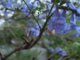 "Jacaranda tree blooming during spring in Mexico; flower  close-up from the ""Mexican Spring Nature Photography Collection"" by Claudia Tello."