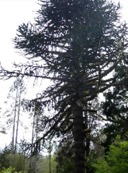 The old male Monkey Puzzle tree stands alone now, without its mate.