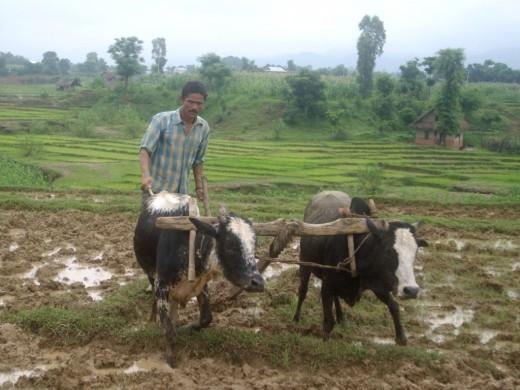 A Nepali farmer