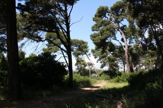 Wind-bent trees on St. Honorat