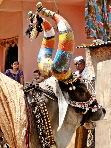 A Nandi Bull