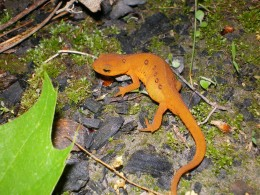 One of the many red salamanders patrolling my gardens.