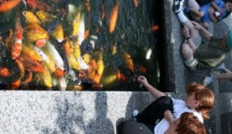 Koi swarm to children with fish pellets