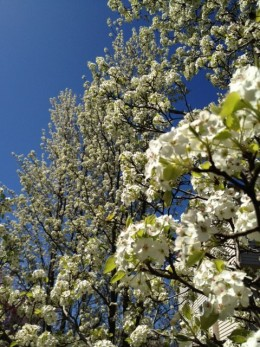 Pear Trees in Bloom in March 2012!  Cleveland Pear trees make great street trees in cramped urban areas!