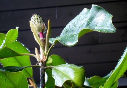 Magnolia seedpod fresh with raindrops
