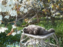 Cat and Cherry Blossoms - a photo gallery
