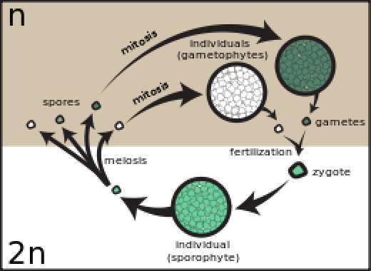 sporic life cycle