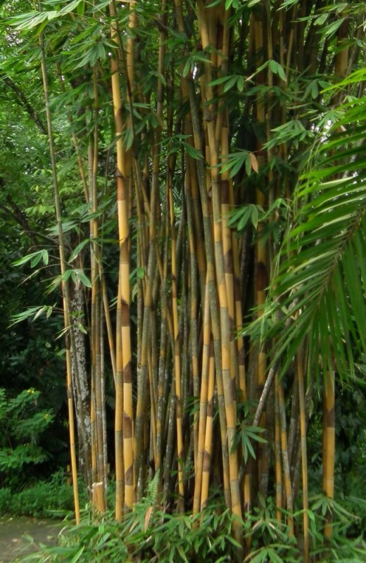 Bamboo makes up 99% of the Giant Pandas diet