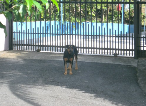Rottweiler running free able to harm whomever