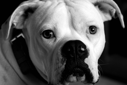 Among purebreds,this is my choice! The American Bulldog is intelligent, loyal, friendly, good with children, and highly trainable.  He is a good, short-haired family dog that should do well with a child with allergies.