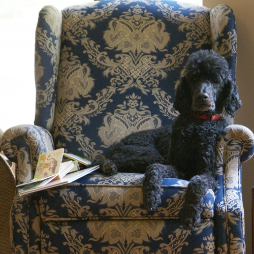 A Standard Poodle is a nice dignified dog that is hypoallergenic.  These are intelligent, friendly, trainable dogs. With a plain, short haircut, he is not even very frou-frou!  But is this the right dog for the President of the US?