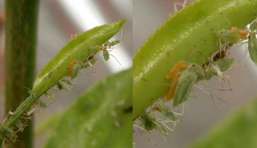 orange aphid midge larvae feasting on an aphid colony (rght-hand photo is detail of one on left)