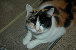 Claire the Calico Cat!