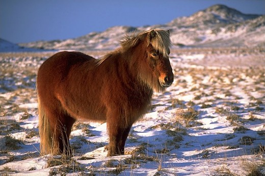 Nordic donkey