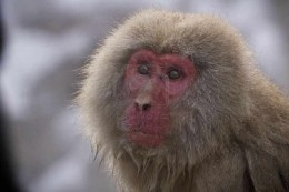 a mature Japanese Macaque closeup.
