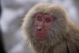 a mature Japanese Macaque closeup.