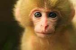 a baby Japanese Macaque.