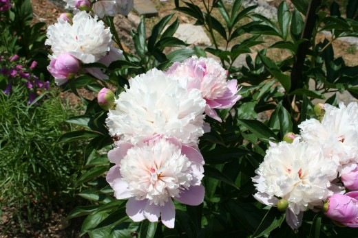 Peonies in my garden.