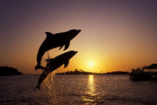 Keep your eyes open particularly in the mornings and you will likely see dolphins jumping out of the water just like these two.
