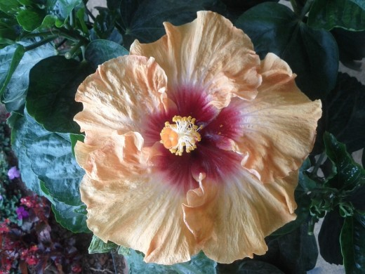 The bright color and sweet smell of this Hibiscus  will attract bees and other pollinators