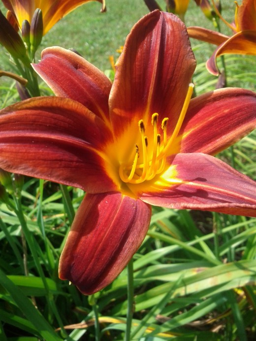 It is easy to see the pistil, stigma, stamen and style on this day lily, a monocot.