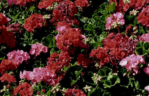 Curly Geraniums, mixed