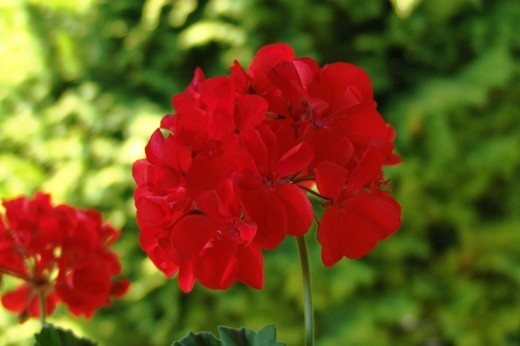 Pelargonium, red