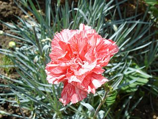 Pink Dianthus (Carnation)