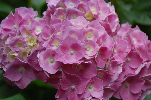 Close up of pink Hydrangea head