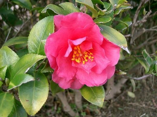 Camellia hiemalis
