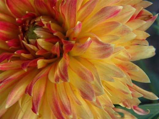 Big Golden Dahlia
