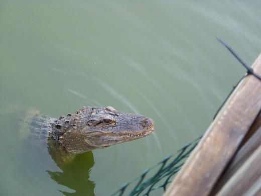 Alligators top teeth show when their mouths are closed.