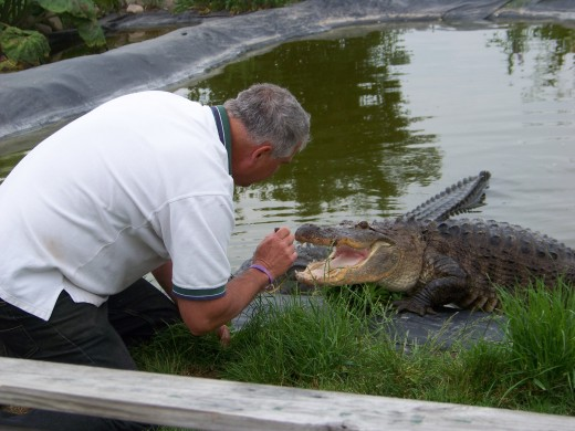 Dave rewards this alligator for coming when called.