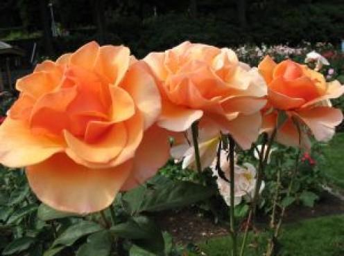 Roses from the International Test Garden in Portland, Oregon.