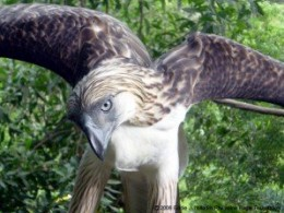 Pagasa turns 20 last January 15.  He's the first eagle bred and hatched in captivity.  He got no mate and offspring as yet.