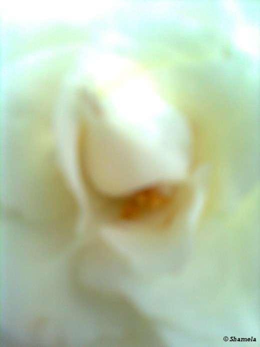 My photo of beautiful center of a white rose.