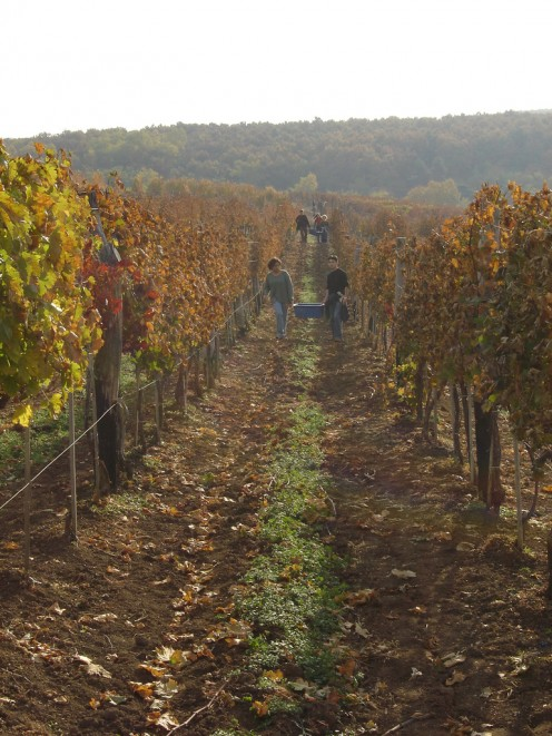 Wine Harvest in Eger