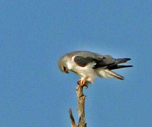 The beautiful Pygmy Falcon - only the size of a large Pigeon