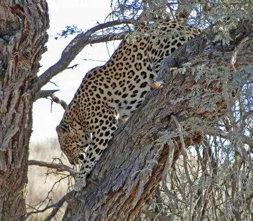 Leopard sharpening its nails