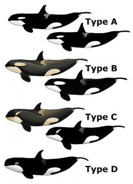 Killer whales vary enormously in diet and behaviour: Type's A and B primarily feast on sea mammals including whales, while Types C and D concentrate more on feasting on fish, including sharks.